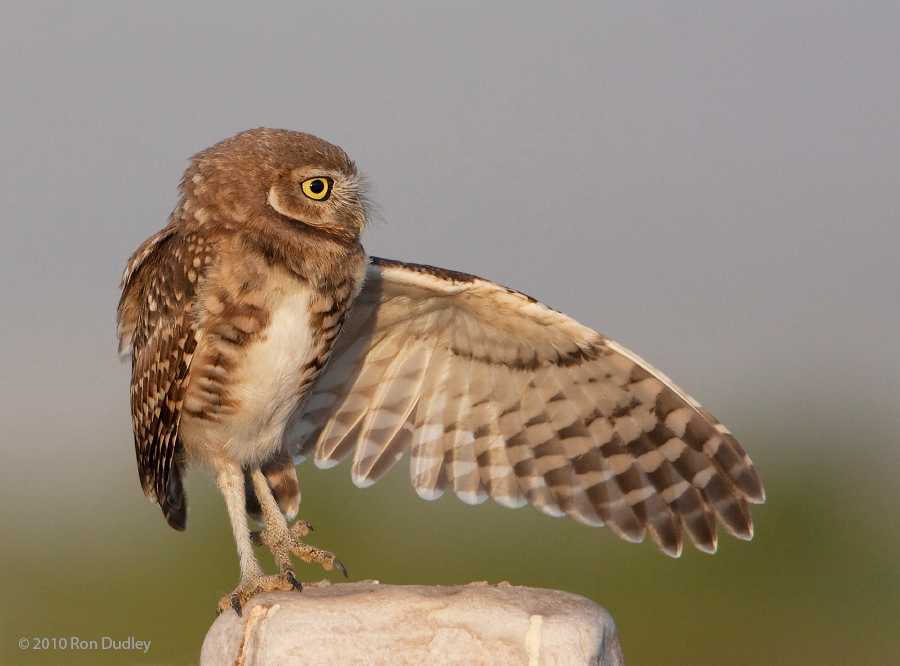 """Wing stretch with leg back or """"They went that-a-way!"""""""