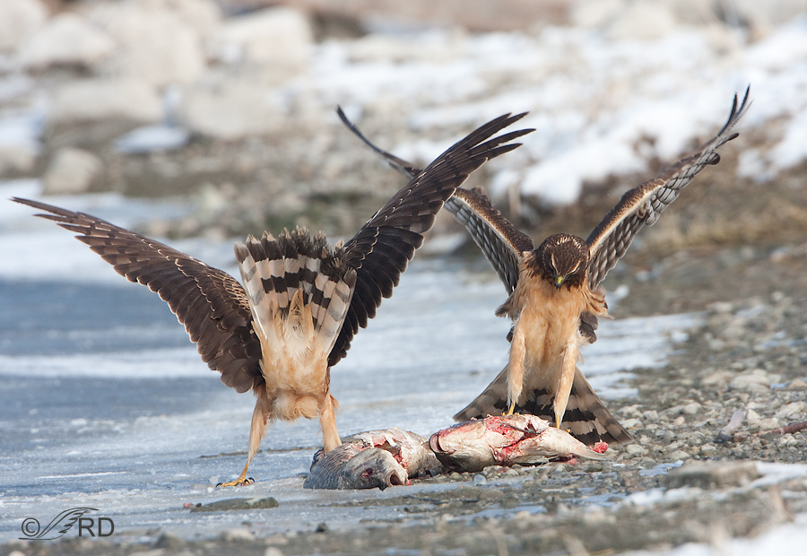 Fish Eating Northern Harriers « Feathered Photography