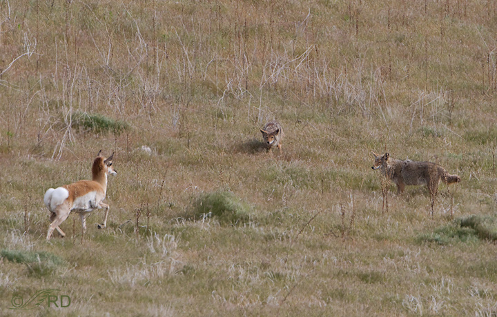 Pronghorn/coyote confrontation 2642