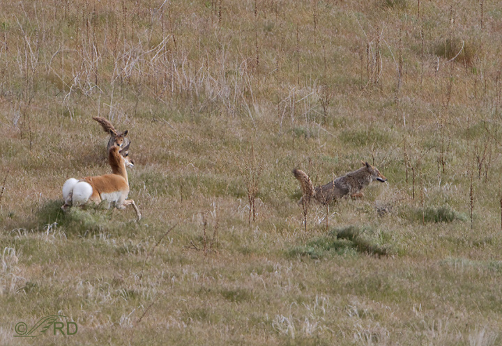 Pronghorn/coyote confrontation 2644