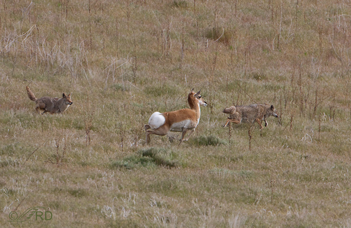 Pronghorn/coyote confrontation 2647