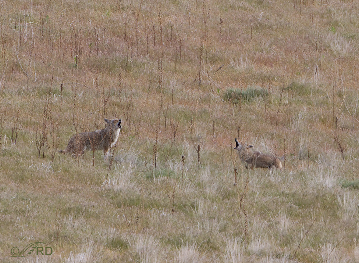 Coyote/pronghorn confrontation 2667
