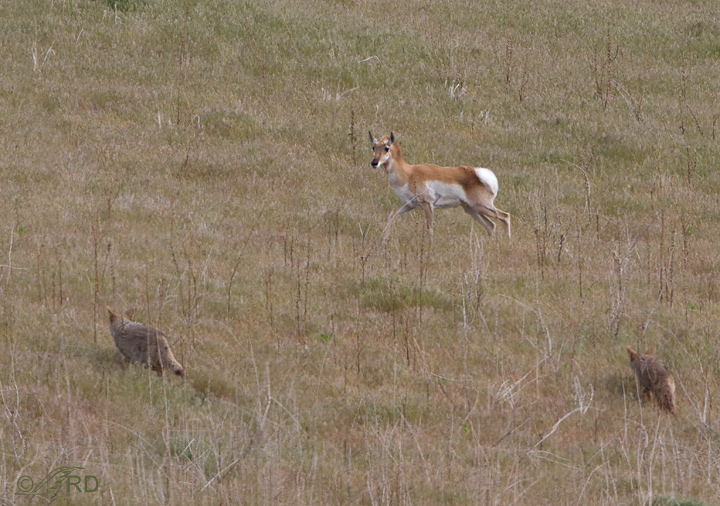 Pronghorn/coyote confrontation 2674