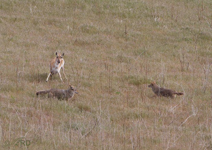 Pronghorn/coyote confrontation 2679