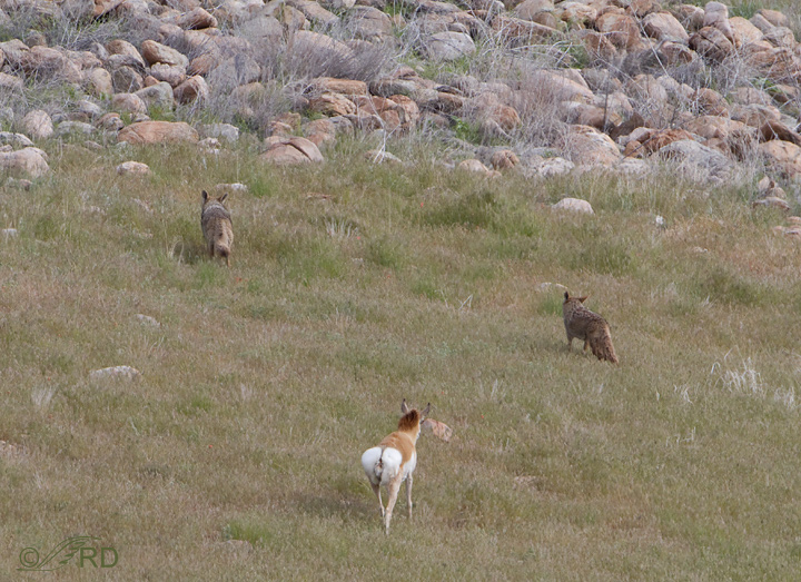 Pronghorn/coyote confrontation 2687
