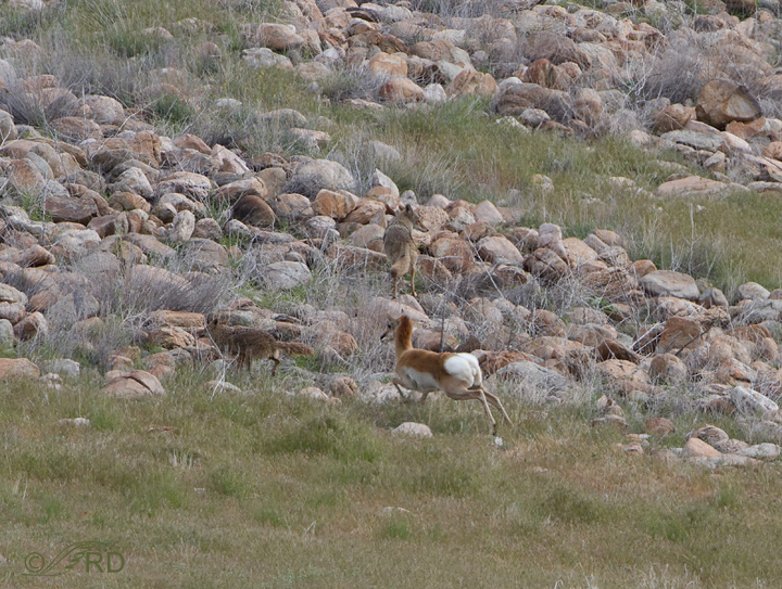 Pronghorn/coyote confrontation 2692