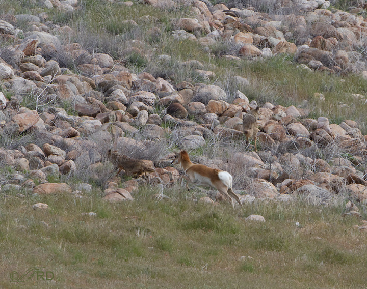 Pronghorn/coyote confrontation 2694
