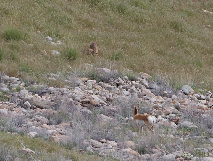 Pronghorn/coyote confrontation 2702