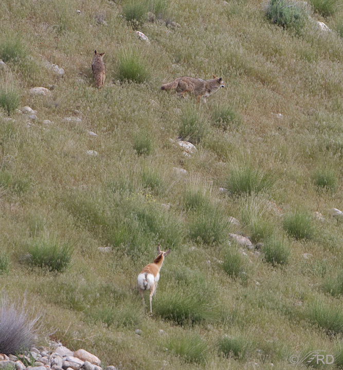 Pronghorn/coyote confrontation 2703