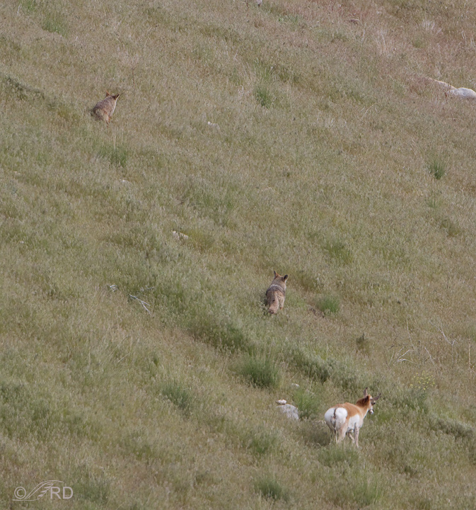 Pronghorn/coyote confrontation 2706