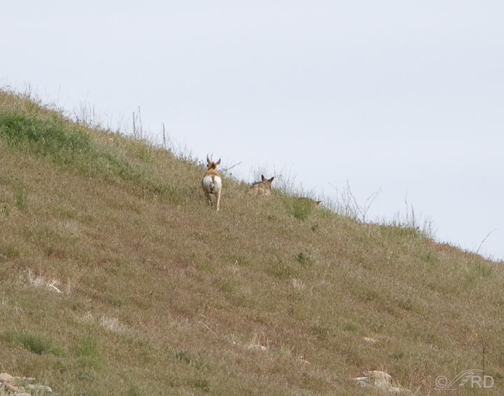 Pronghorn/coyote confrontation 2708