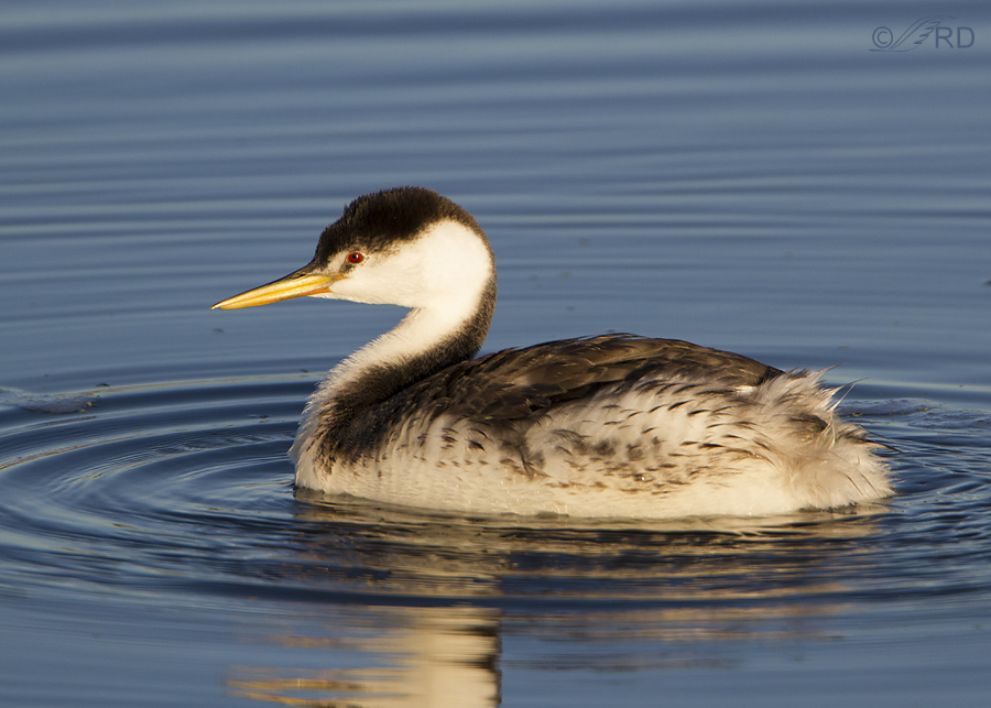 westerrn grebe 8374 ron dudley