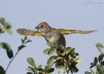 green-tailed towhee 2134 ron dudley