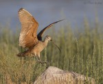 long-billed curlew 9779 ron dudley