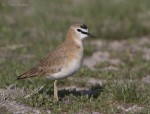 mountain plover 4549 ron dudley