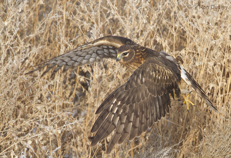 northern harrier 9091 ron dudley