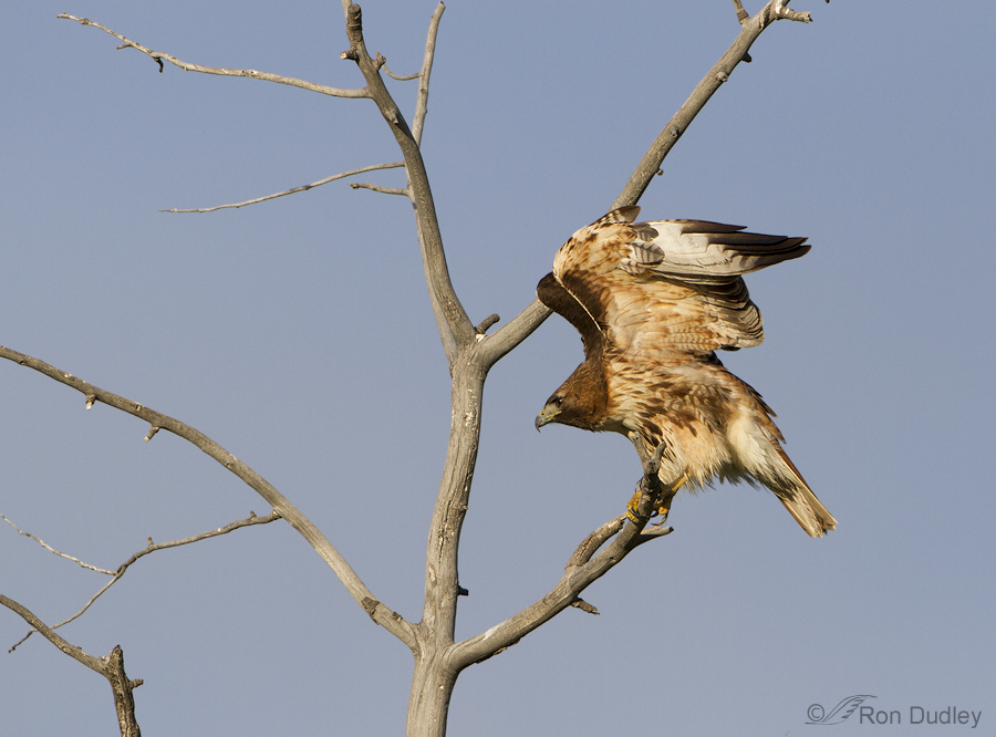 red-tailed hawk 6485 ron dudley