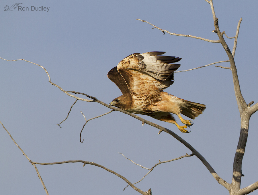 red-tailed hawk 6496 ron dudley