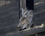 great horned owl 6332 ron dudley