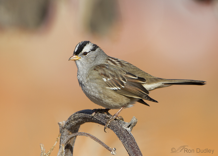 White crowned sparrow juvenile