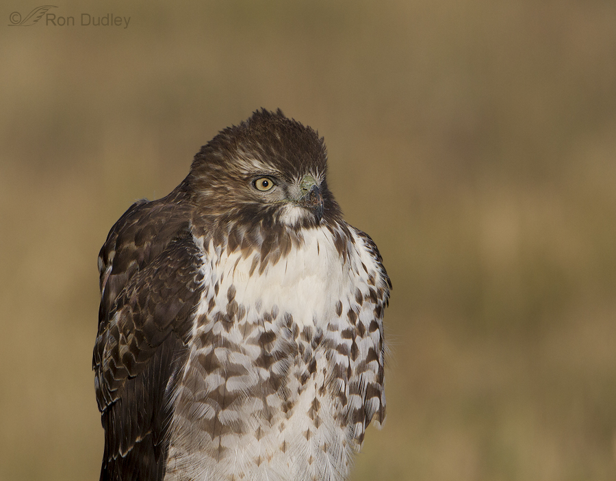 red-tailed hawk 9495 ron dudley