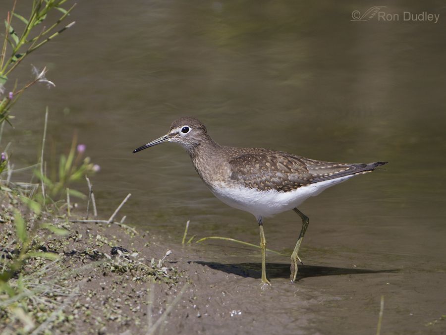solitary sandpiper 9179 ron dudley