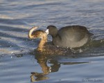 pied-billed grebe 7360 ron dudley