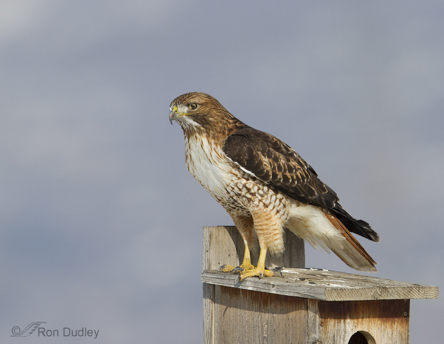 Red Tailed Hawk Perched A Possibly Damaged Adu...