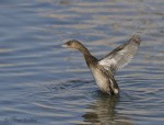 pied-billed grebe 1326 ron dudley