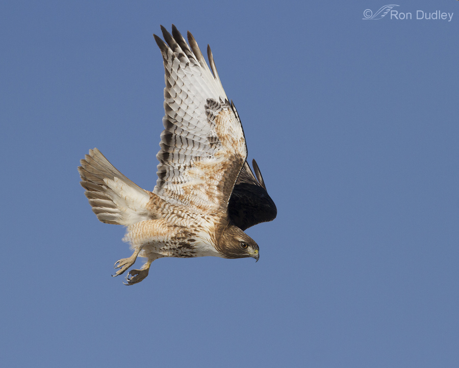 flying red tail hawk wwwpixsharkcom images galleries