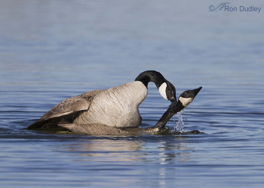 canada goose 3993 ron dudley