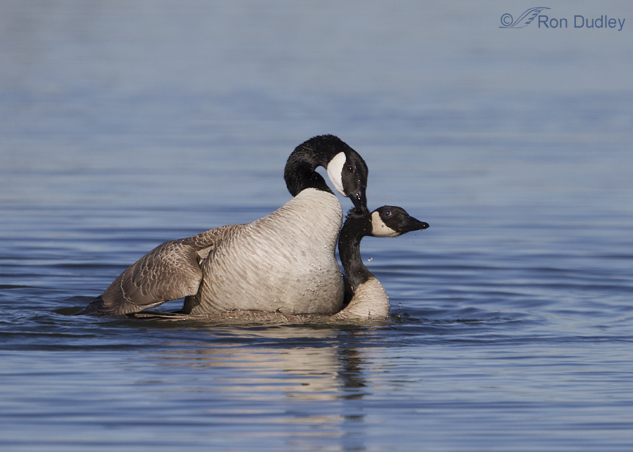 canada goose 3996 ron dudley