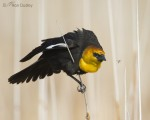 yellow-headed blackbird 5710 ron dudley