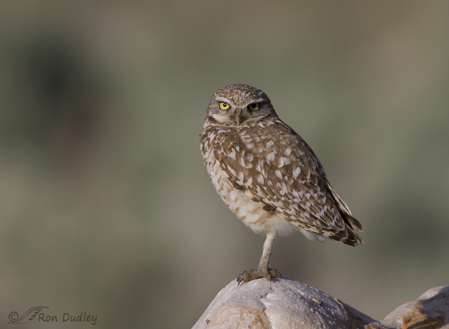 burrowing owl 9092 ron dudley