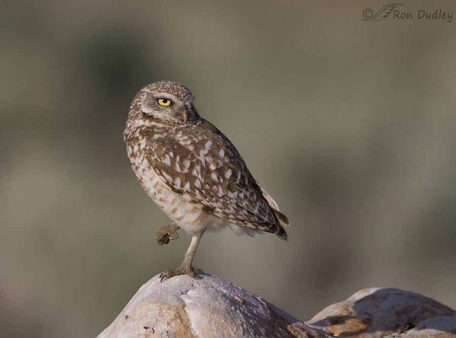 burrowing owl 9138 ron dudley