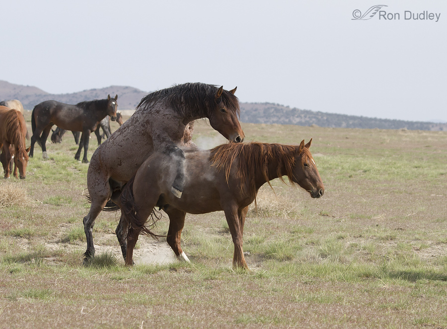 How Do Horses Mate - Pictures of Horses