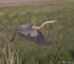 great blue heron 2254 ron dudley