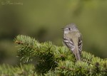 least flycatcher 5668 ron dudley