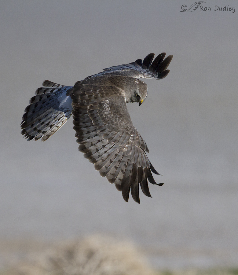 northern harrier 7392b ron dudley