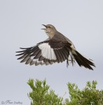 northern mockingbird 1760 ron dudley