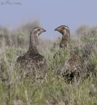 sage grouse 5775 ron dudley