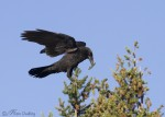 common raven 6098 ron dudley