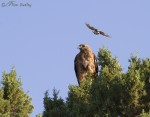 red-tailed hawk 3764 ron dudley
