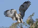 red-tailed hawk 6979 ron dudley