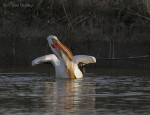 american white pelican 5359 ron dudley