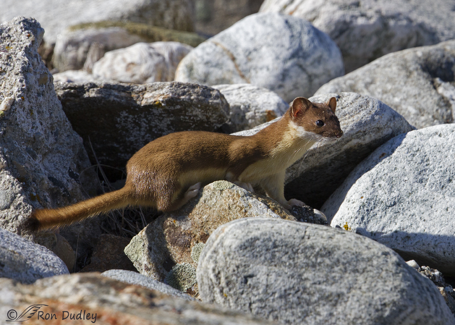 long-tailed weasel 2275 ron dudley