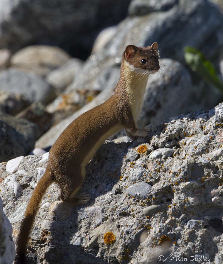 long-tailed weasel 2349 ron dudley