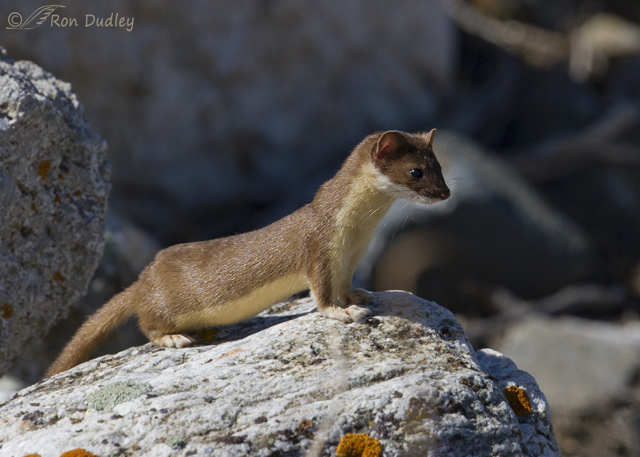 long-tailed weasel 2468 ron dudley
