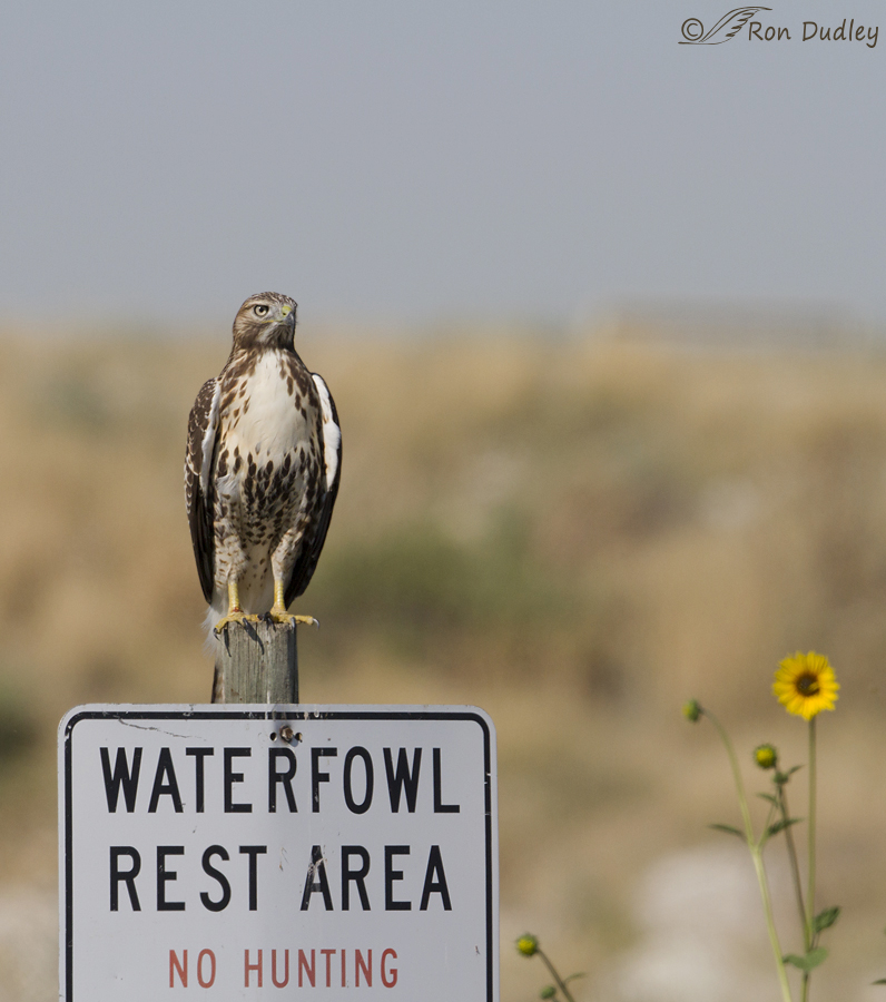 red-tailed hawk 2907b ron dudley