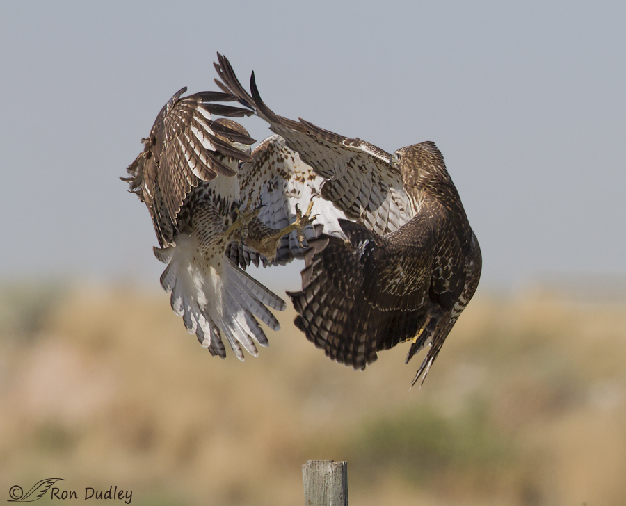 red-tailed hawk 2920 ron dudley